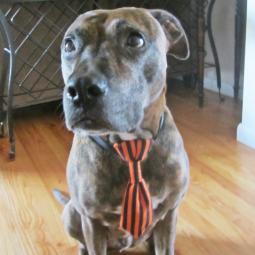 Halloween Orange and Black Dog Tie